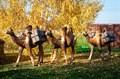Верблюд ростовая фигура - фото 50554